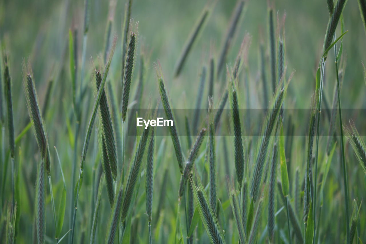 growth, green color, plant, field, agriculture, crop, land, beauty in nature, cereal plant, no people, nature, close-up, day, farm, wheat, rural scene, tranquility, ear of wheat, focus on foreground, grass, outdoors, stalk, plantation, blade of grass