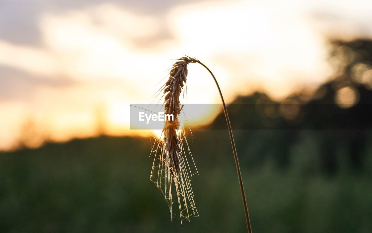 plant, focus on foreground, crop, nature, close-up, agriculture, sunset, sky, growth, wheat, beauty in nature, tranquility, field, cereal plant, no people, land, day, outdoors, rural scene, landscape, stalk