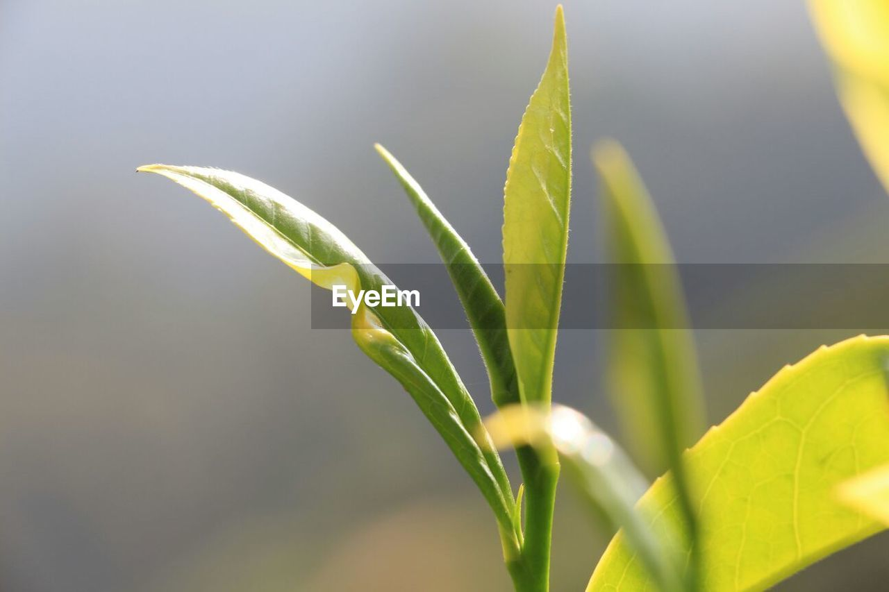 Close-up of tea plant growing outdoors