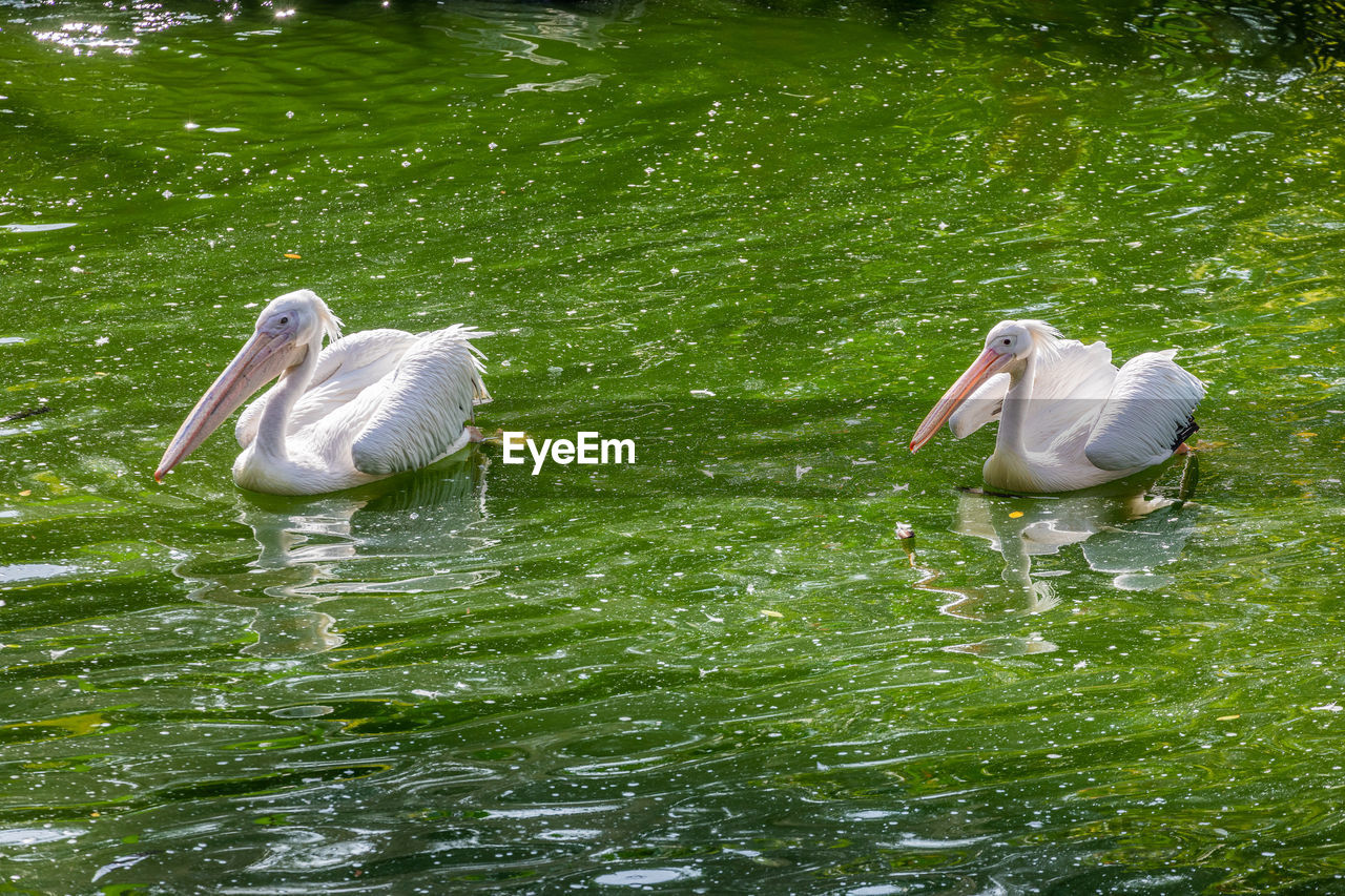 water, group of animals, lake, vertebrate, animal themes, animal wildlife, animals in the wild, animal, waterfront, bird, nature, water bird, plant, young animal, no people, green color, day, two animals, beauty in nature, cygnet, outdoors, animal family