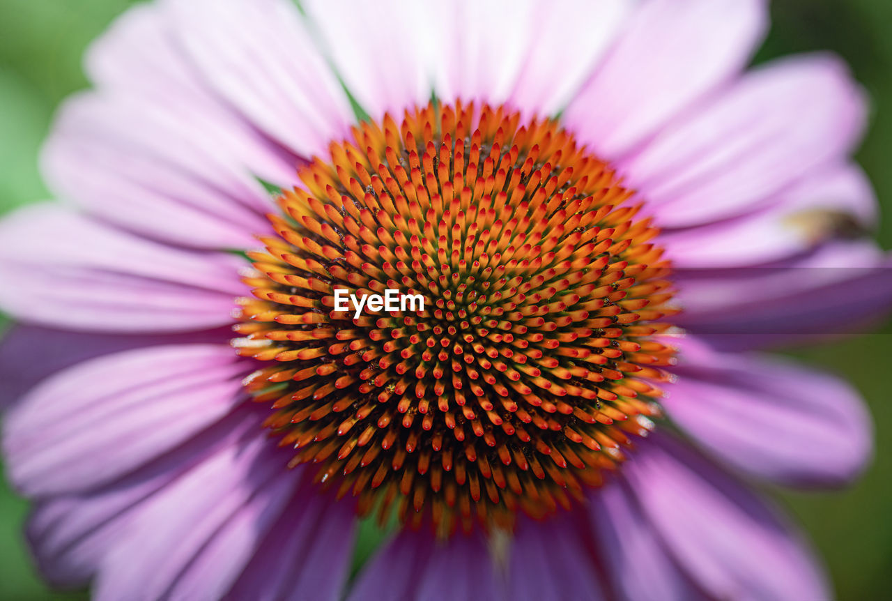 flower, petal, flowering plant, inflorescence, flower head, close-up, vulnerability, fragility, pollen, freshness, plant, growth, beauty in nature, nature, coneflower, day, pink color, focus on foreground, selective focus, no people, purple