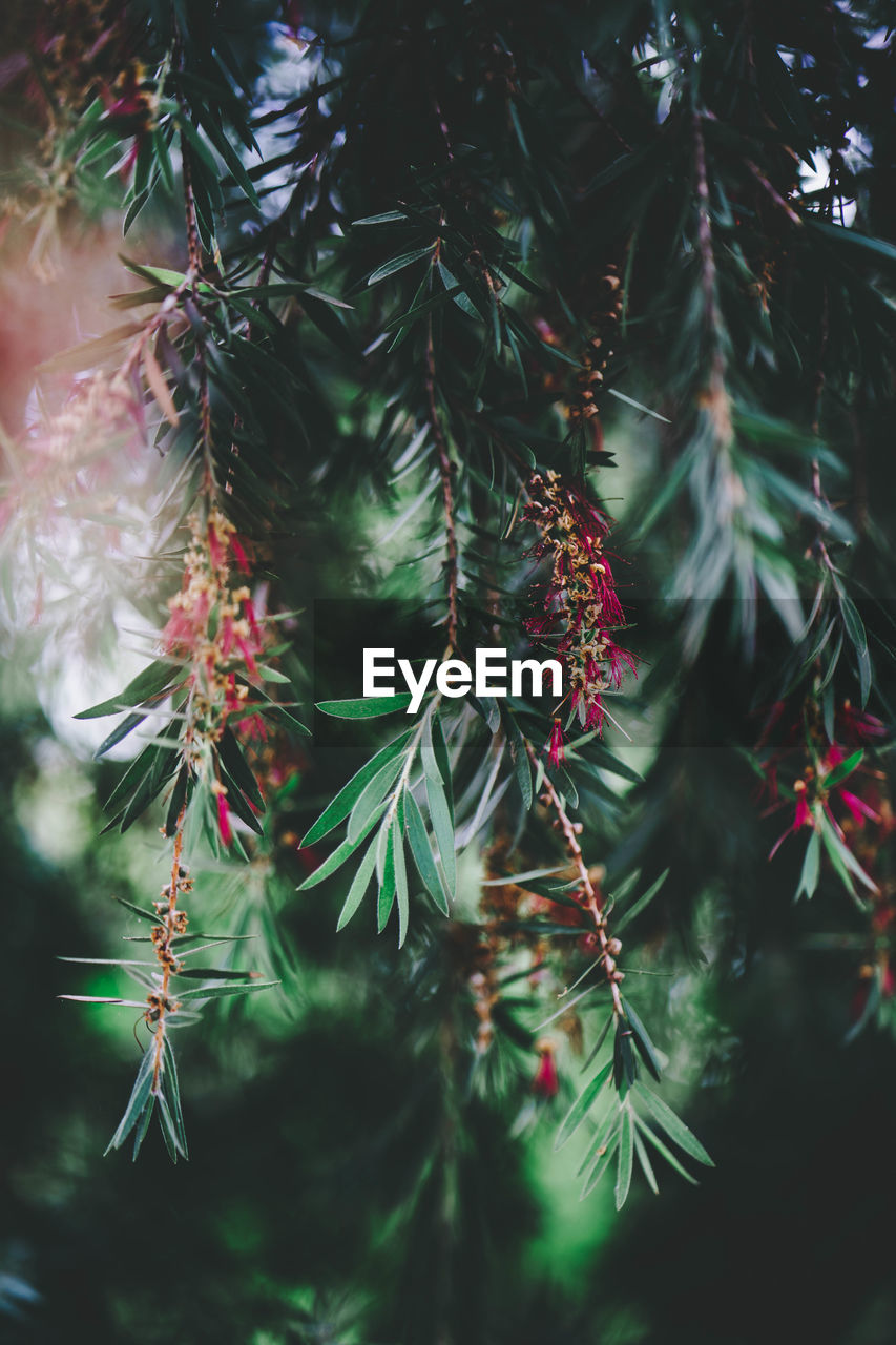 plant, tree, growth, beauty in nature, close-up, no people, day, nature, green color, branch, focus on foreground, pine tree, outdoors, selective focus, coniferous tree, plant part, leaf, red, needle - plant part, tranquility, fir tree