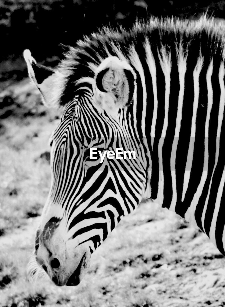 animal wildlife, animal, animal themes, animals in the wild, mammal, zebra, one animal, striped, no people, close-up, vertebrate, nature, focus on foreground, day, animal markings, outdoors, field, white color, land, herbivorous, animal head