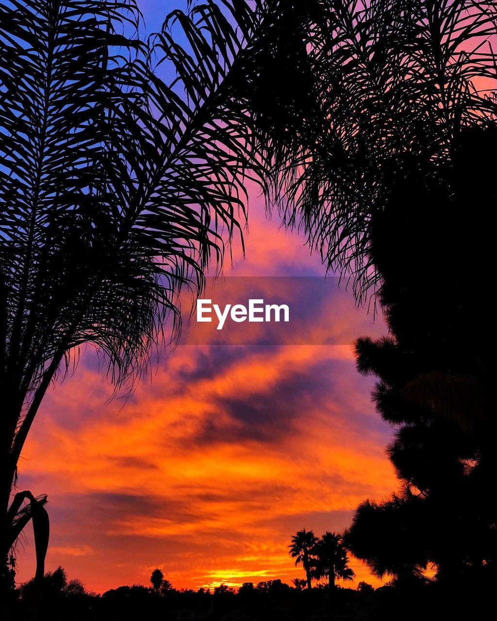 tree, sunset, silhouette, palm tree, sky, beauty in nature, orange color, nature, growth, scenics, tree trunk, low angle view, tranquility, outdoors, no people