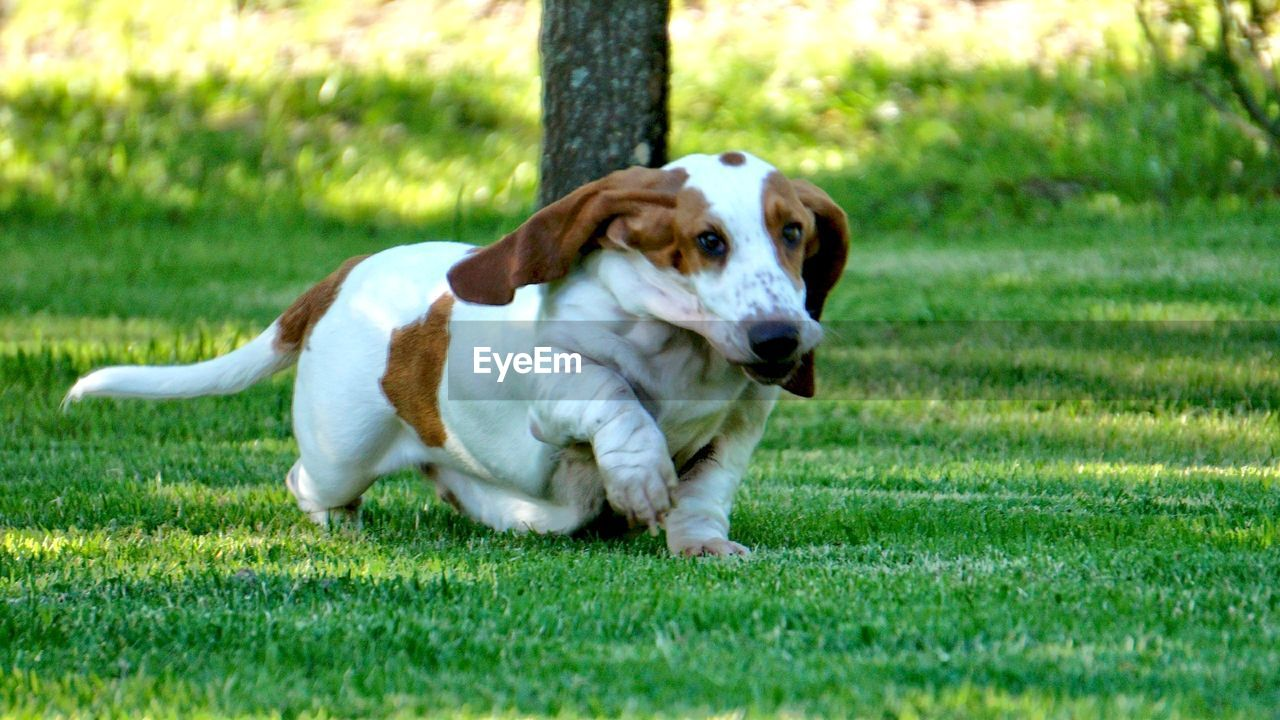 grass, dog, pets, domestic animals, one animal, animal themes, mammal, field, outdoors, green color, day, nature, no people, portrait, beagle