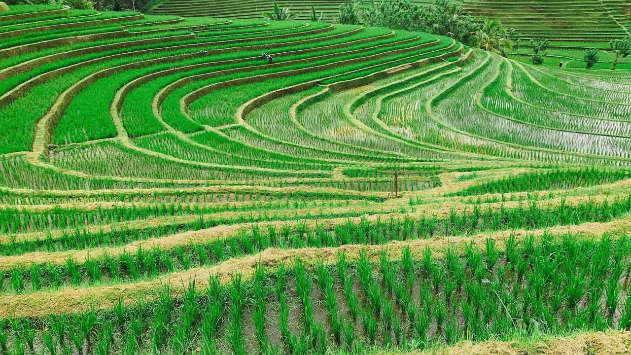 Crops Growing At Rice Paddy