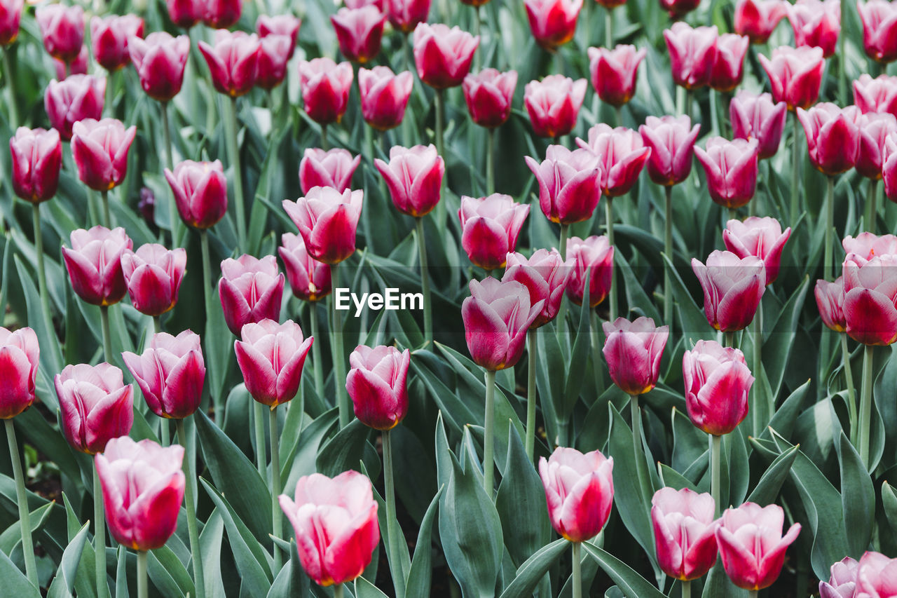 flowering plant, flower, beauty in nature, plant, freshness, vulnerability, fragility, petal, tulip, growth, close-up, full frame, pink color, backgrounds, inflorescence, flower head, nature, land, no people, field, outdoors, springtime, flowerbed
