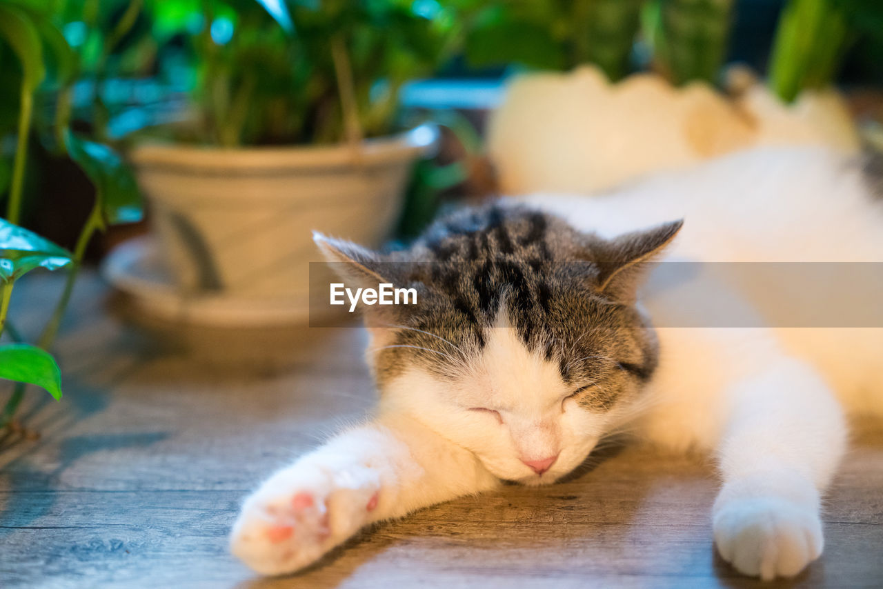 domestic cat, cat, domestic, one animal, animal themes, animal, pets, mammal, feline, domestic animals, relaxation, vertebrate, no people, eyes closed, resting, close-up, sleeping, lying down, focus on foreground, whisker, tabby