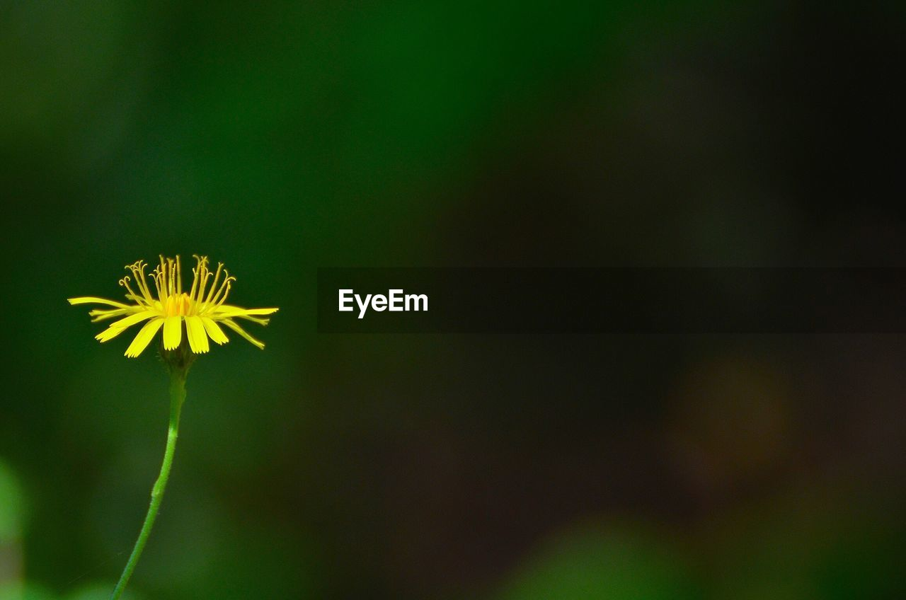 flower, growth, nature, fragility, plant, yellow, beauty in nature, petal, flower head, blooming, freshness, outdoors, no people, close-up, day