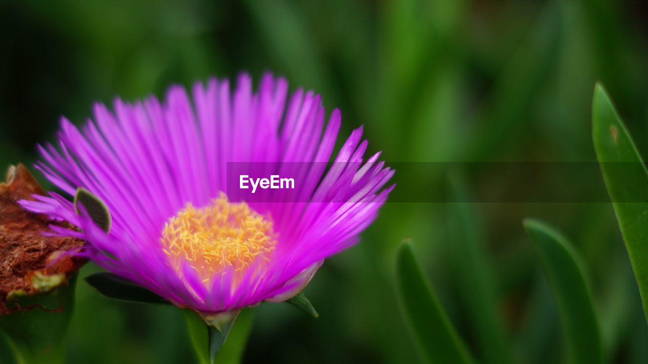 flowering plant, flower, vulnerability, beauty in nature, plant, fragility, freshness, growth, close-up, petal, flower head, inflorescence, nature, focus on foreground, no people, pink color, purple, day, pollen
