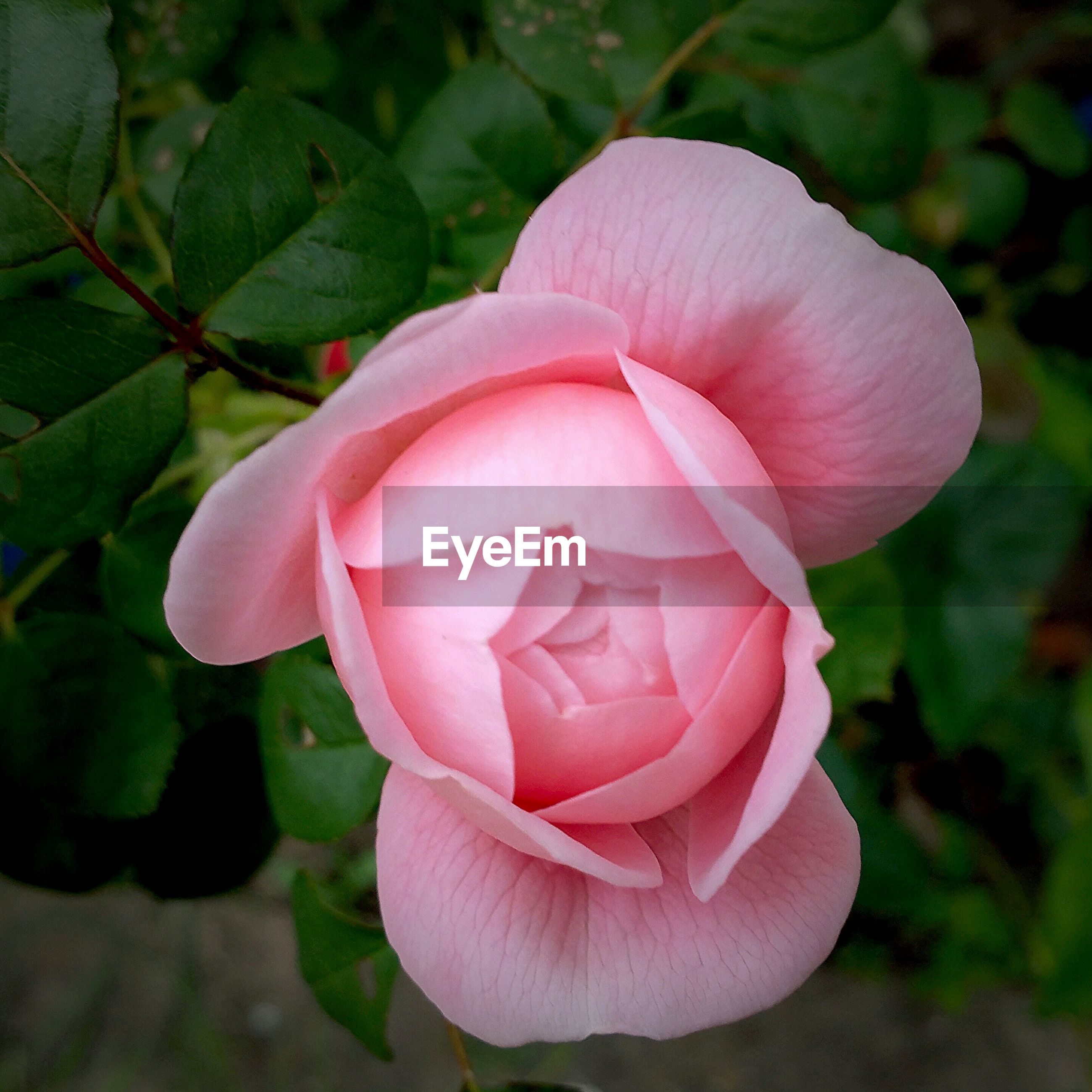 Close-up of pink rose flower blooming on field