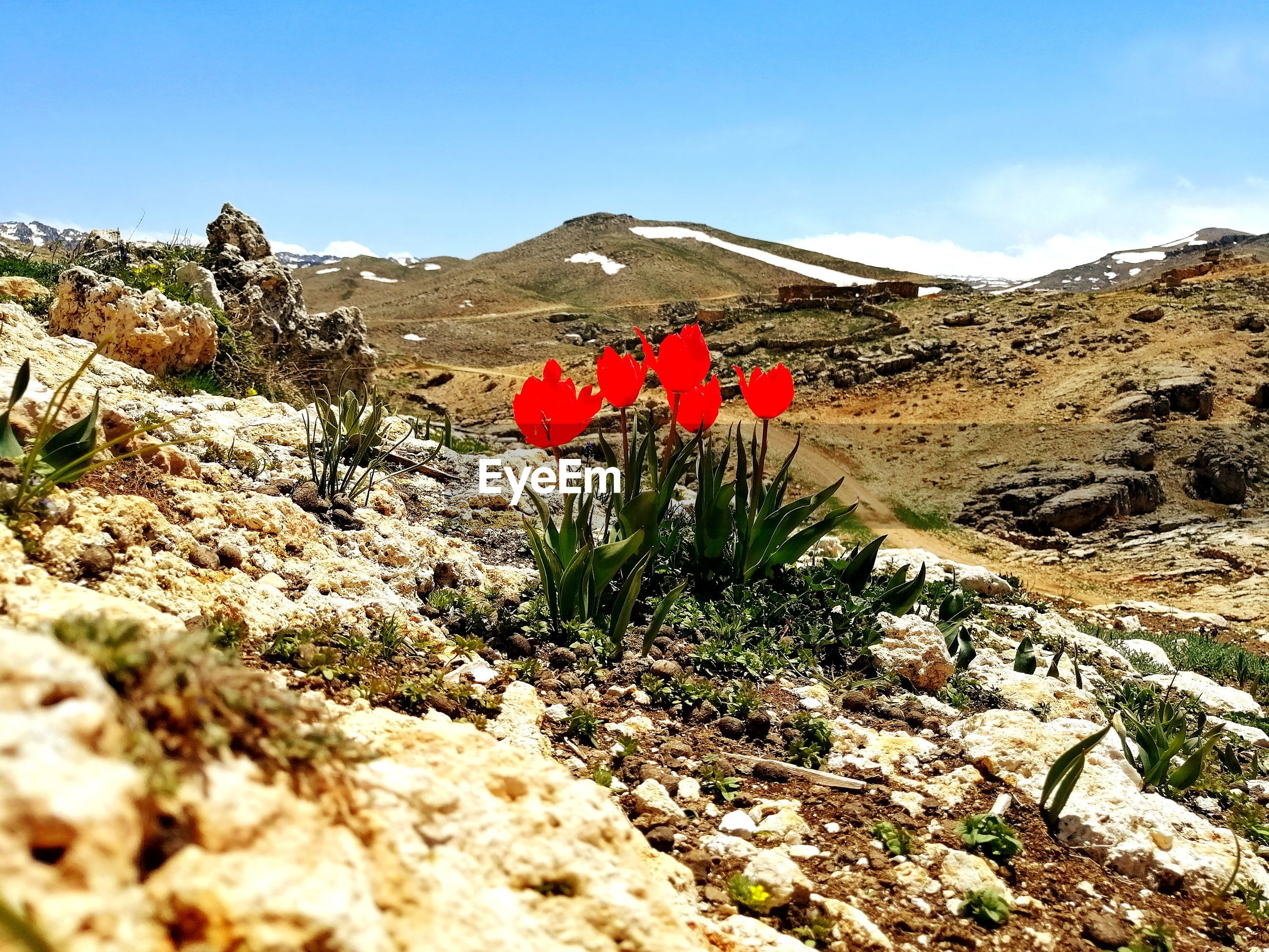RED FLOWERING PLANTS ON ROCKY MOUNTAINS