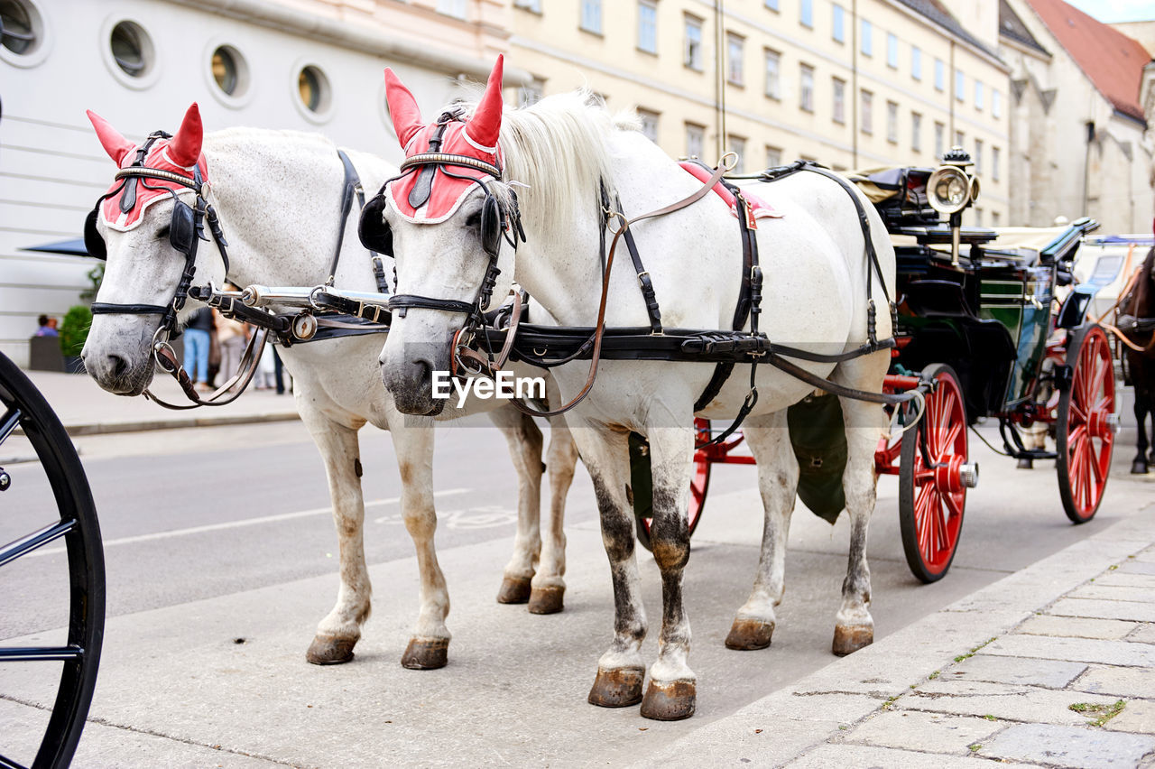 White horses with fiacre on street in city