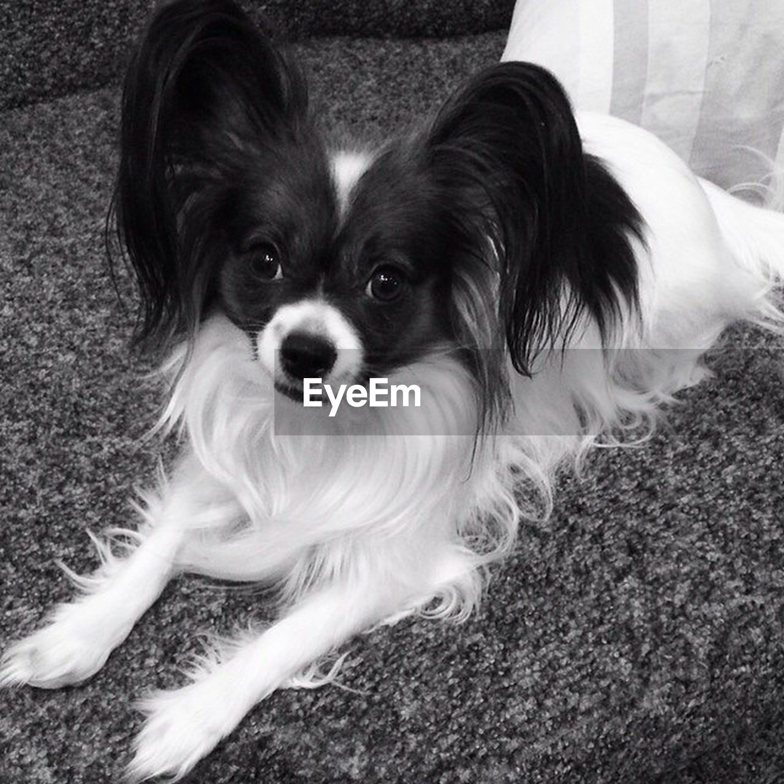 domestic animals, pets, dog, one animal, animal themes, mammal, looking at camera, portrait, high angle view, puppy, cute, young animal, sitting, close-up, no people, relaxation, day, animal head, indoors, field