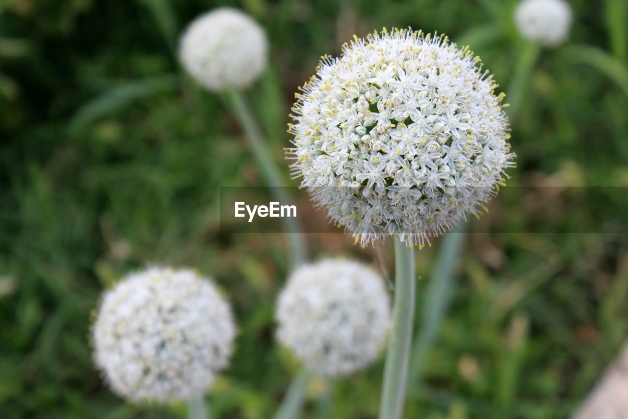 flower, plant, flowering plant, growth, beauty in nature, fragility, close-up, freshness, vulnerability, nature, white color, focus on foreground, no people, flower head, day, field, inflorescence, land, plant stem, outdoors, softness