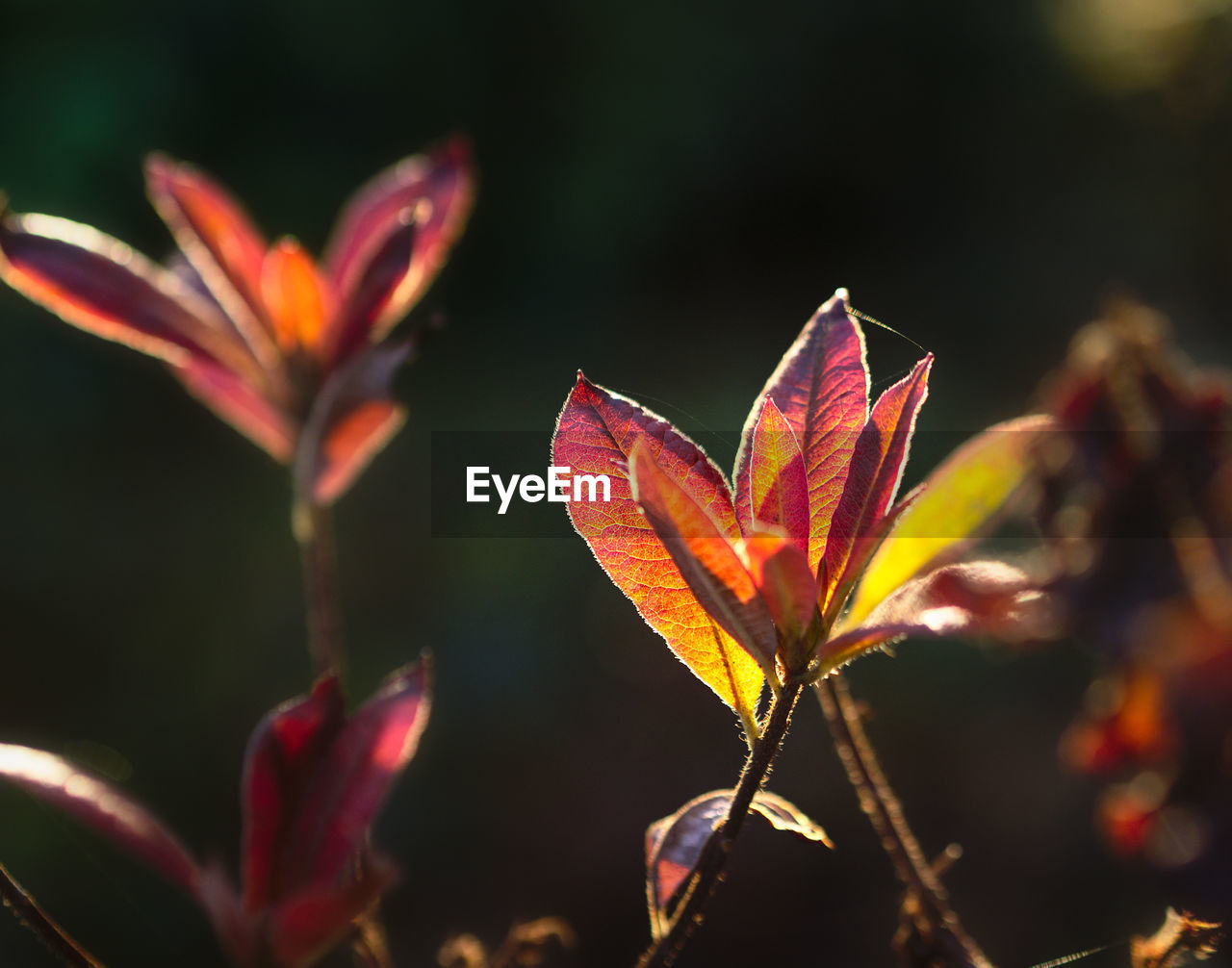plant part, leaf, close-up, focus on foreground, beauty in nature, plant, growth, orange color, nature, no people, outdoors, autumn, selective focus, day, fragility, vulnerability, change, flower, flowering plant, sunlight, leaves
