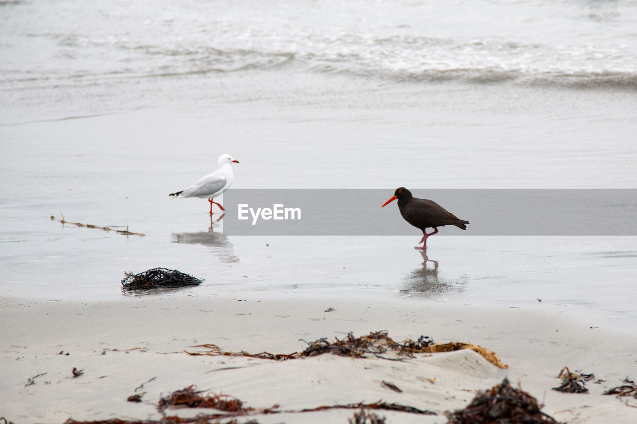 animal themes, water, animal, animal wildlife, bird, animals in the wild, vertebrate, group of animals, beach, sea, no people, land, two animals, day, beauty in nature, nature, sand, perching, outdoors, seagull