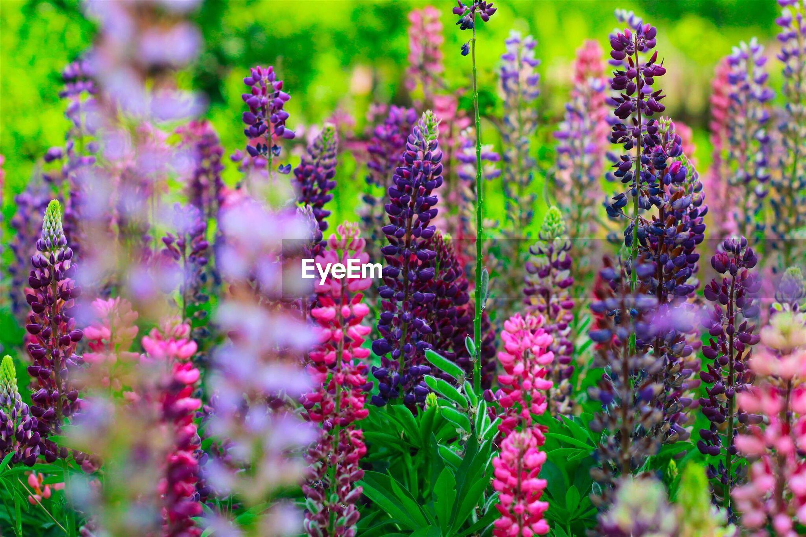 Lupine flowers in the field