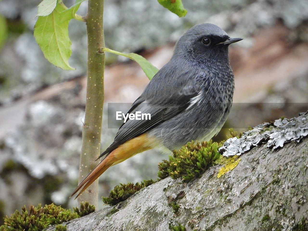 animal themes, animal, animals in the wild, animal wildlife, vertebrate, one animal, bird, perching, focus on foreground, no people, day, close-up, plant, tree, nature, black color, outdoors, rock, solid, rock - object, blackbird