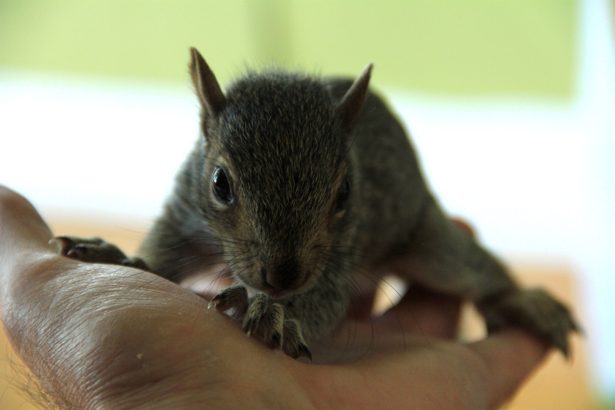 Close-up of hand holding squirrel