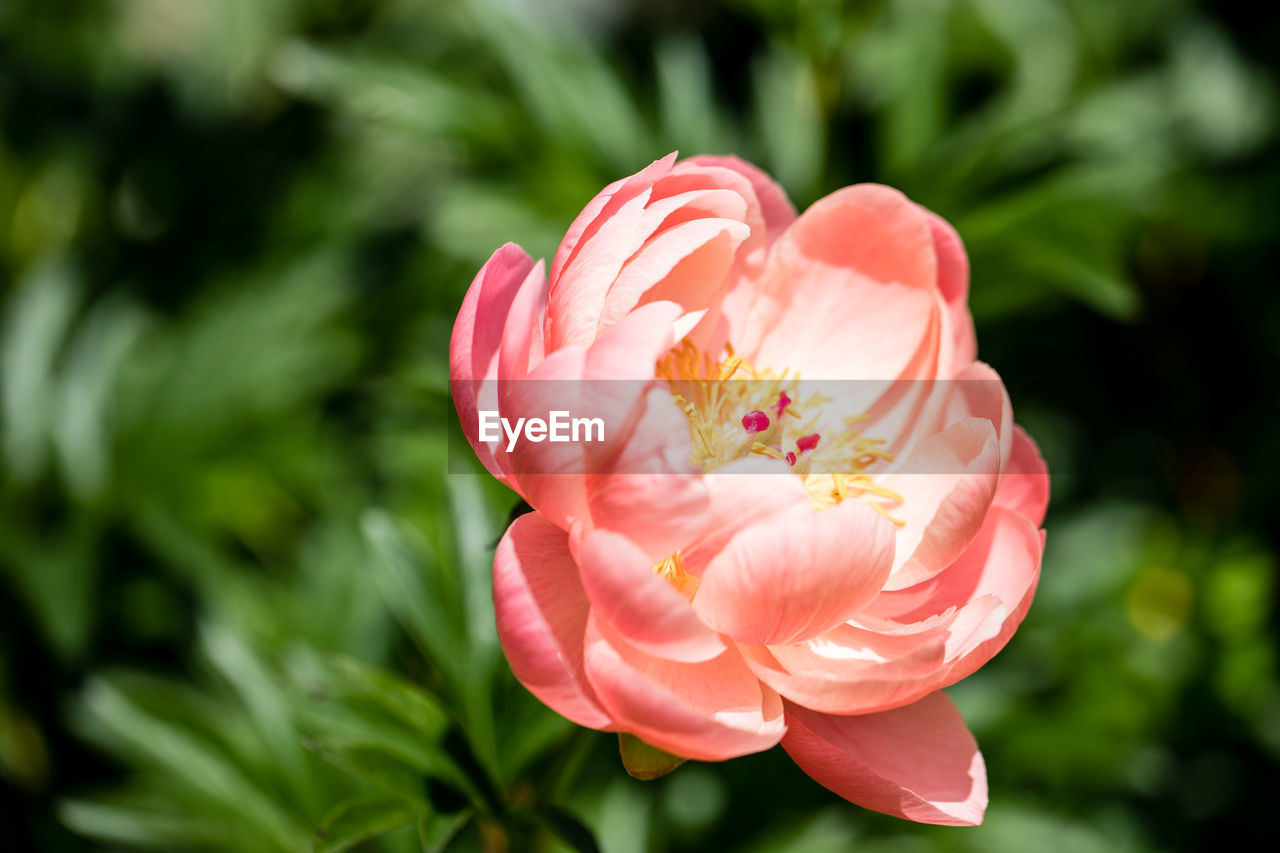 flower, petal, nature, beauty in nature, flower head, fragility, freshness, growth, pink color, focus on foreground, blooming, plant, close-up, no people, rose - flower, day, outdoors, zinnia