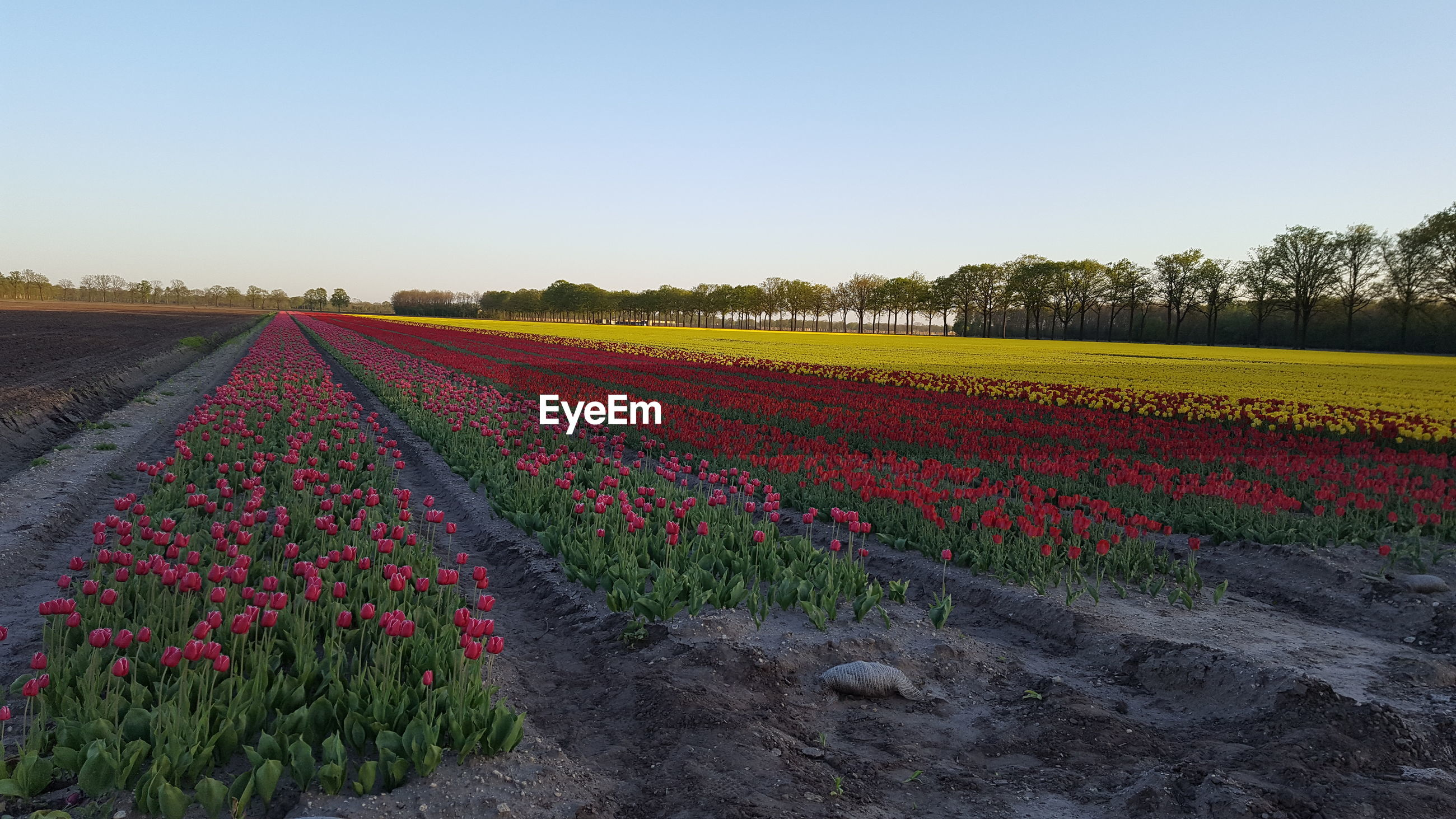 VIEW OF FLOWERING PLANTS ON FIELD AGAINST CLEAR SKY DURING SUNRISE