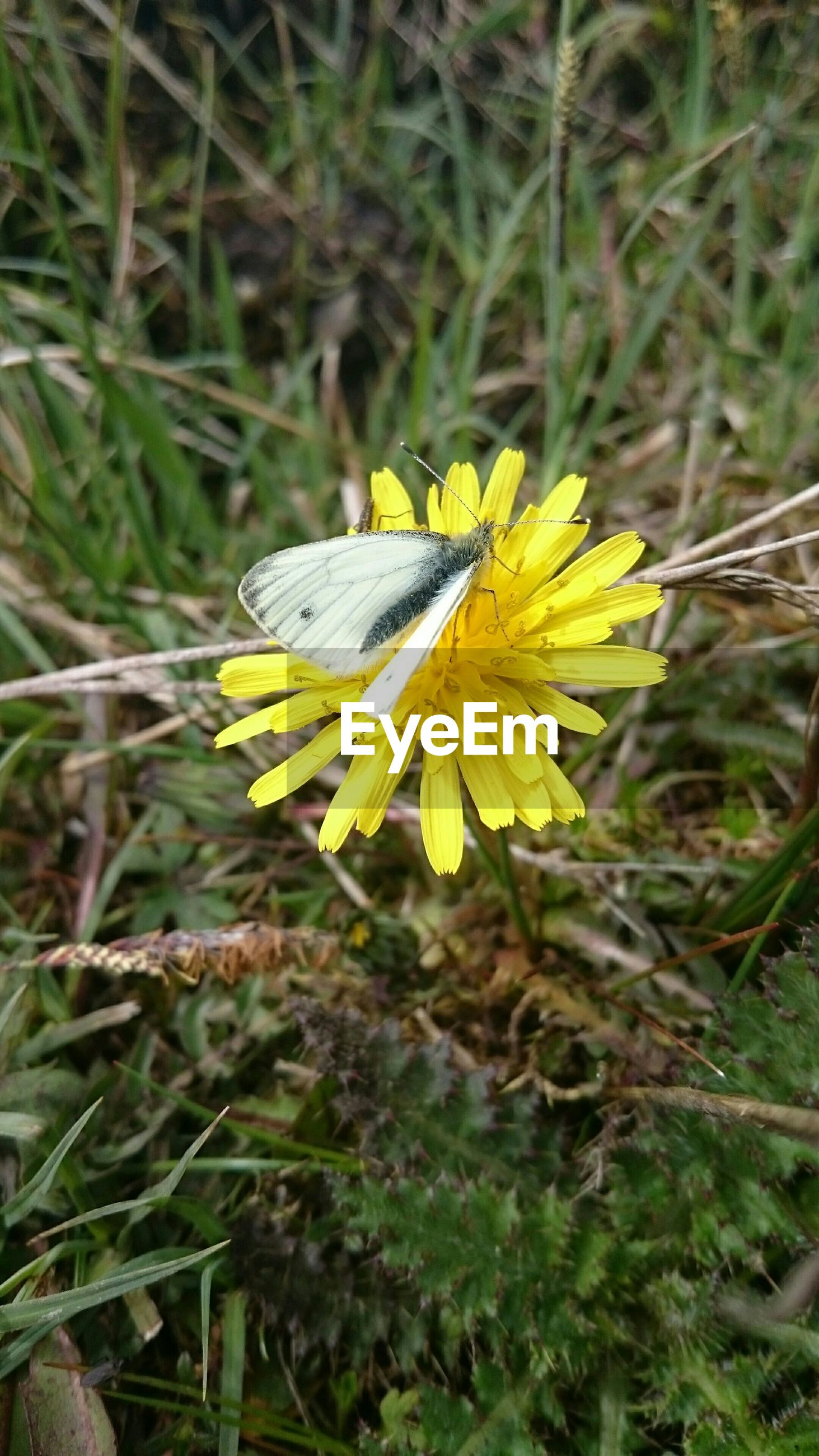 High angle view of butterfly on dandelion flower