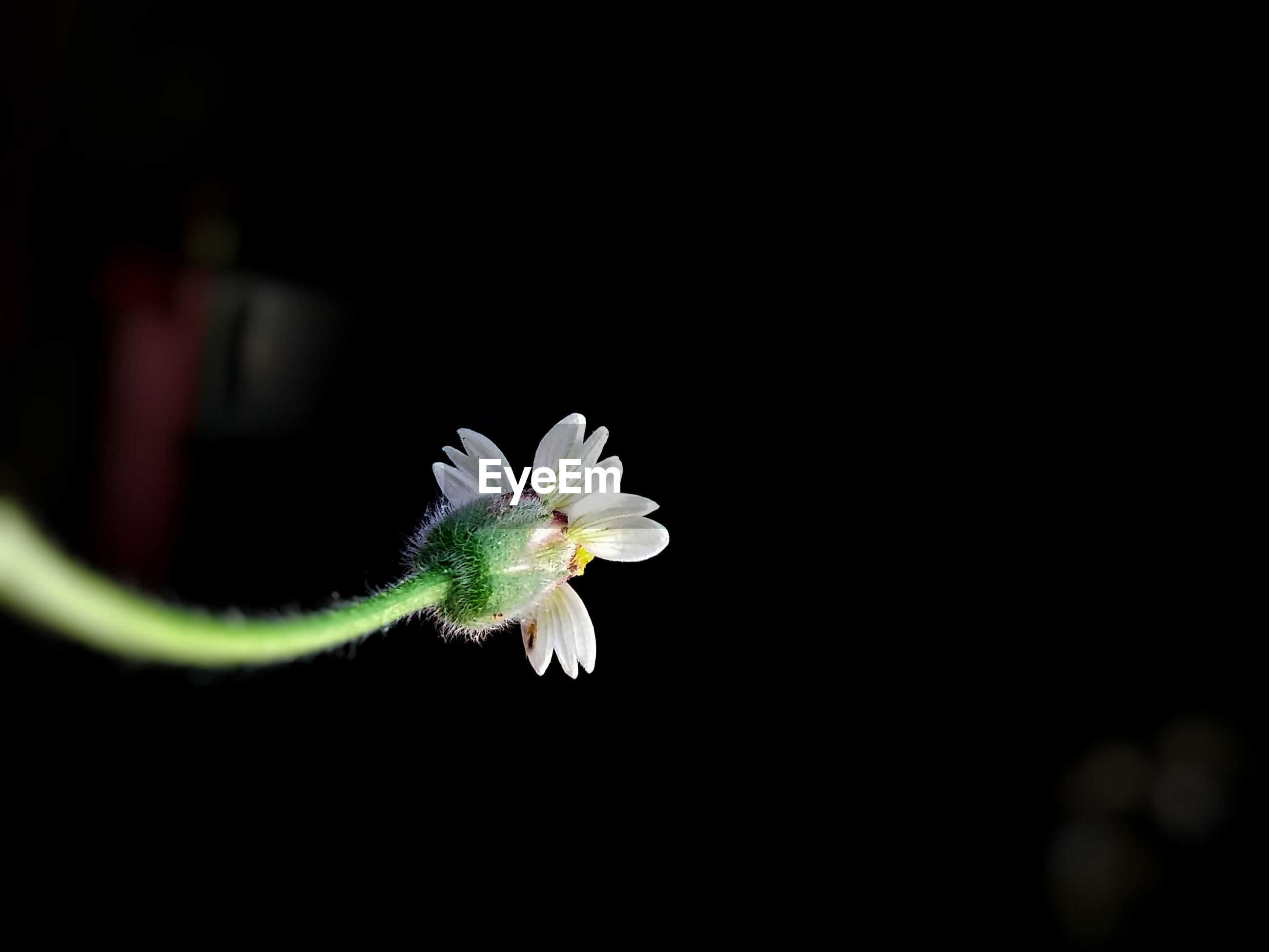 flower, freshness, fragility, close-up, flower head, growth, petal, white, single flower, selective focus, springtime, nature, focus on foreground, black background, blossom, in bloom, beauty in nature, botany, dark, softness, studio shot, bloom, blooming, no people
