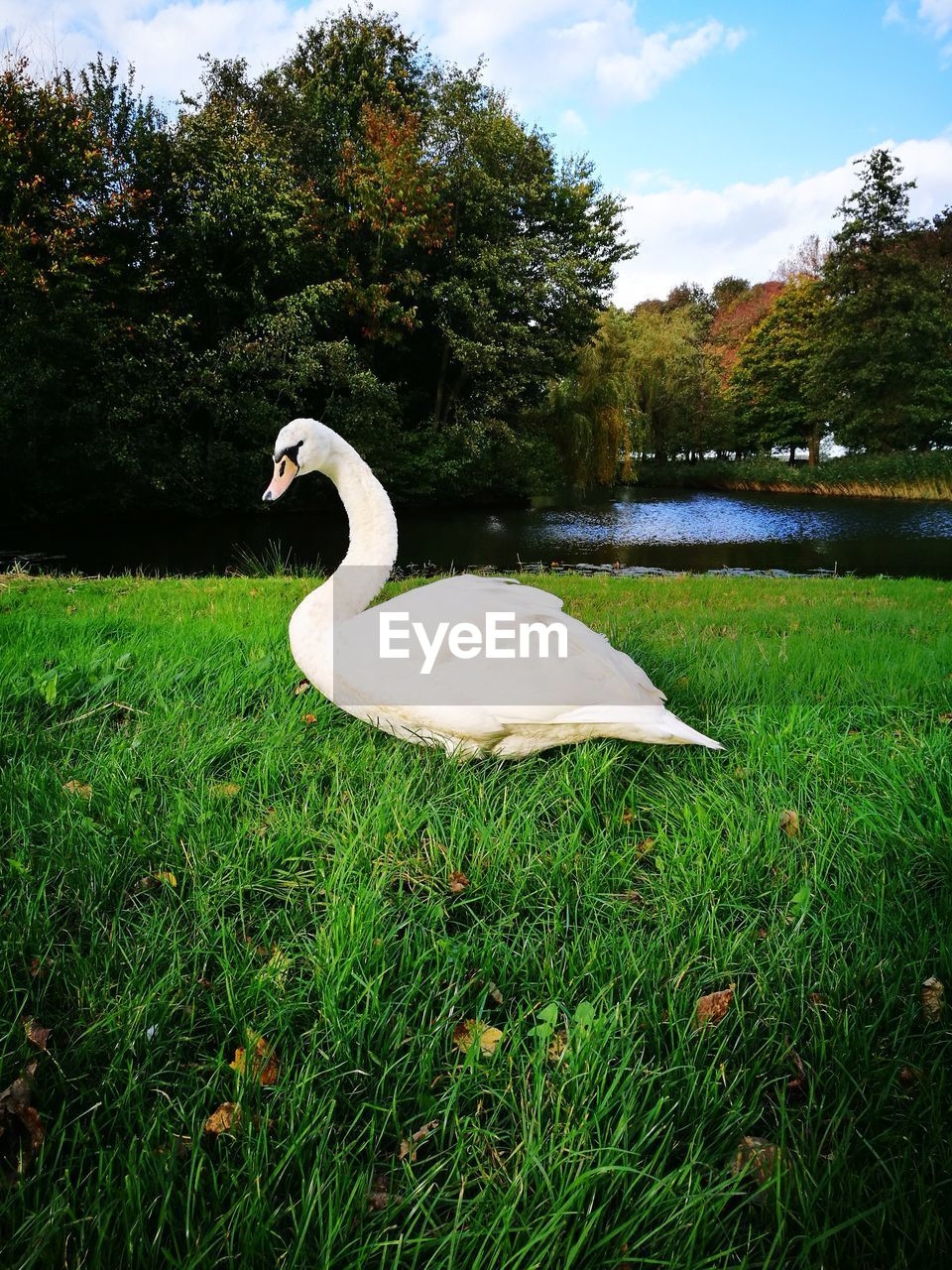 grass, animals in the wild, swan, animal themes, one animal, bird, nature, growth, lake, tree, day, green color, white color, outdoors, animal wildlife, no people, beauty in nature, sky, water