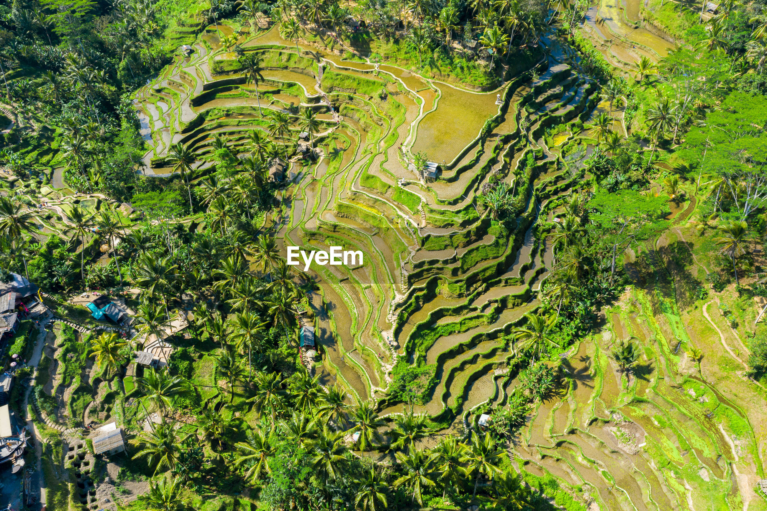 Aerial view of rice field