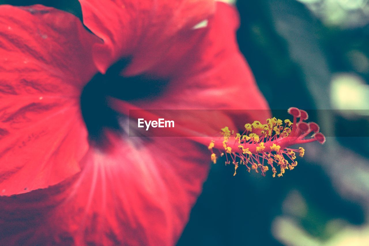 flower, petal, fragility, growth, flower head, beauty in nature, nature, freshness, blooming, pollen, close-up, plant, stamen, hibiscus, no people, outdoors, day, day lily