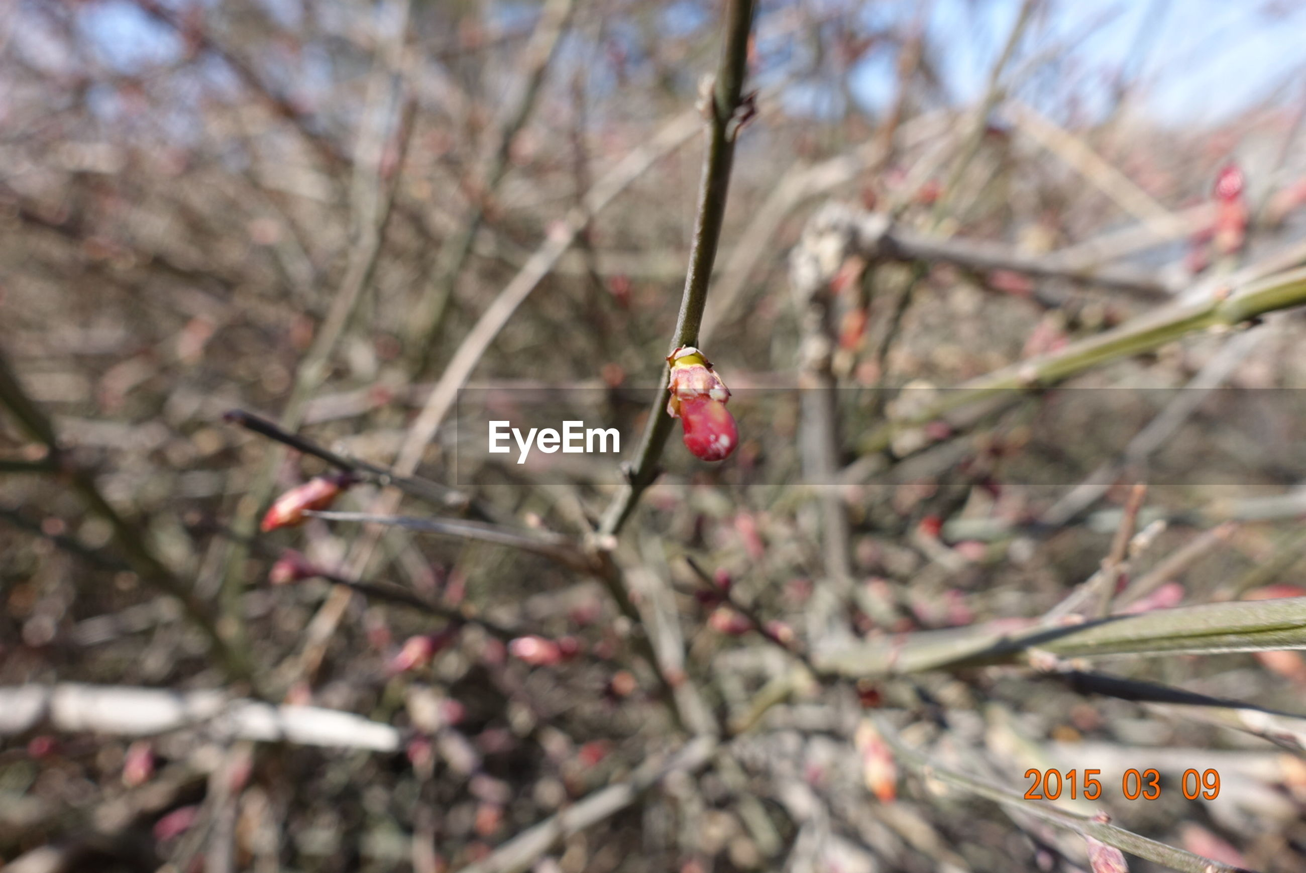 branch, tree, growth, focus on foreground, red, twig, fruit, nature, close-up, freshness, berry, selective focus, beauty in nature, leaf, berry fruit, day, cherry tree, cherry, outdoors, bud