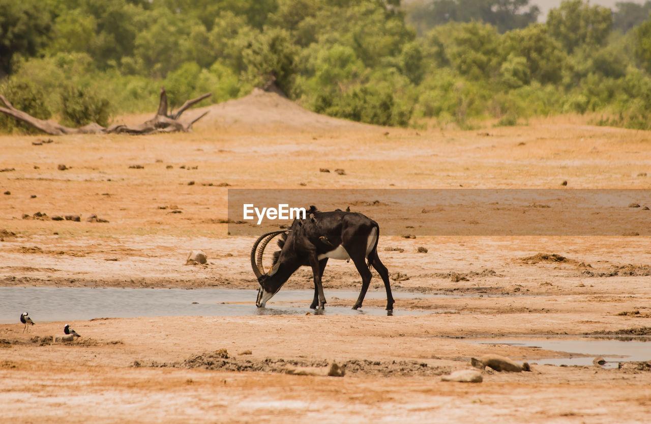 Honed Animal Standing On Field