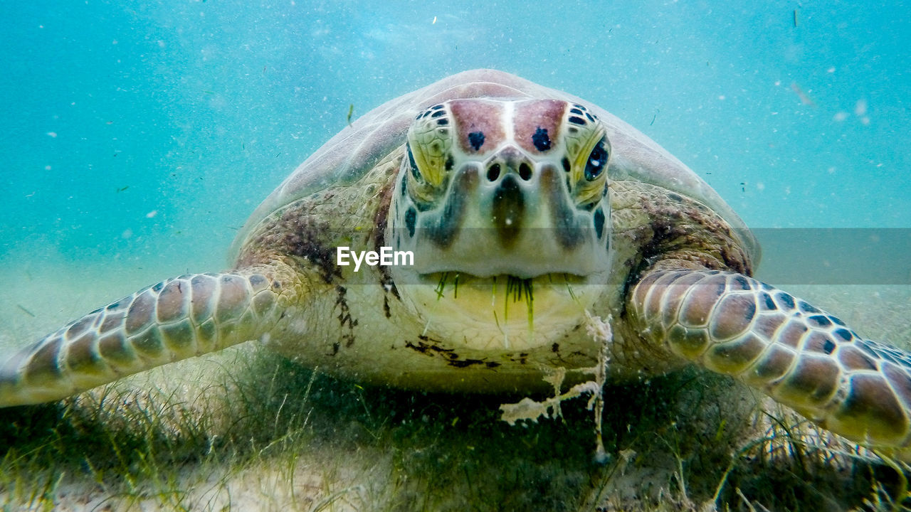 Extreme Close-Up Of Sea Turtle Eating Grass Underwater