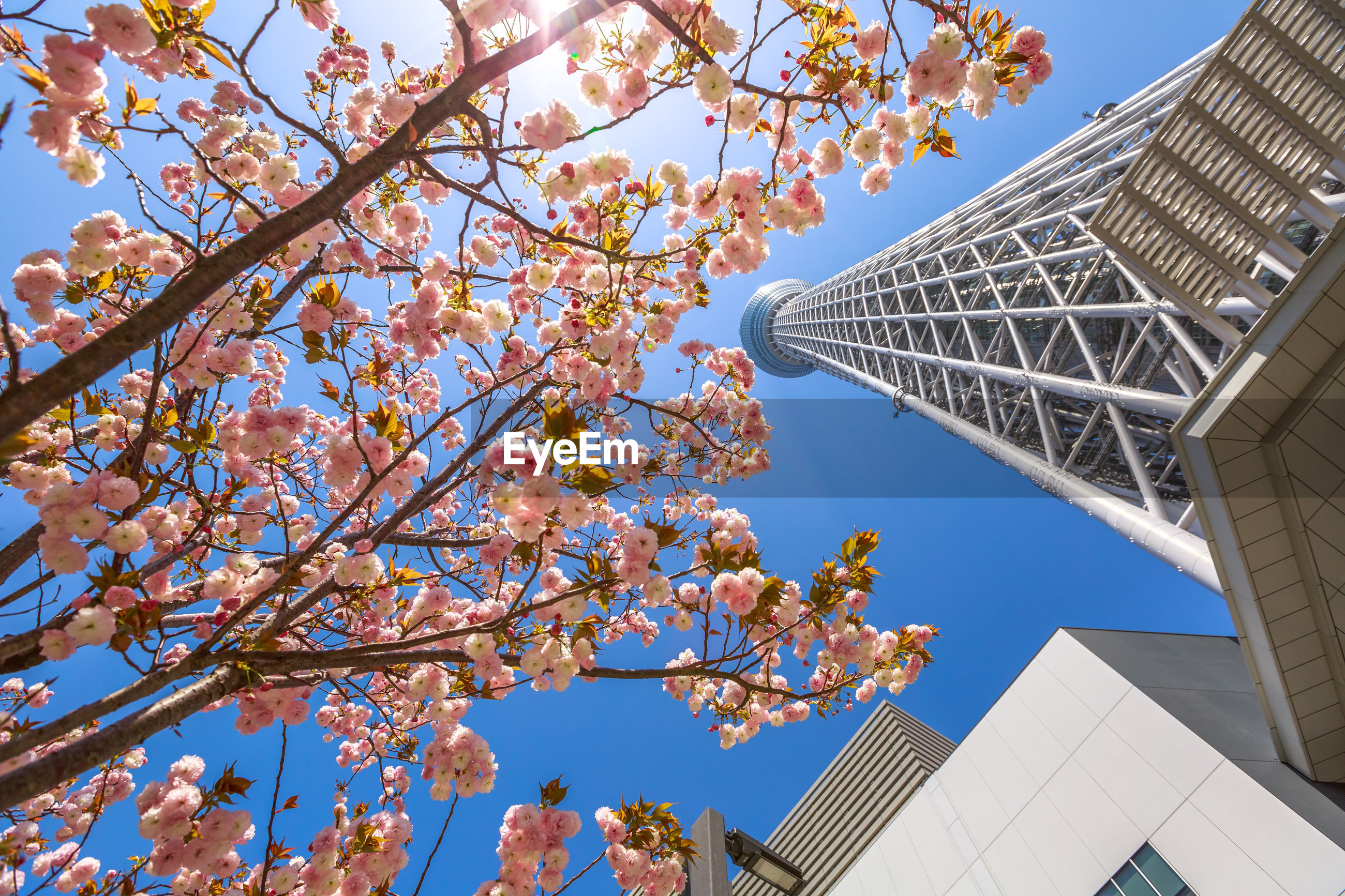 LOW ANGLE VIEW OF CHERRY BLOSSOM TREE AGAINST BUILDING