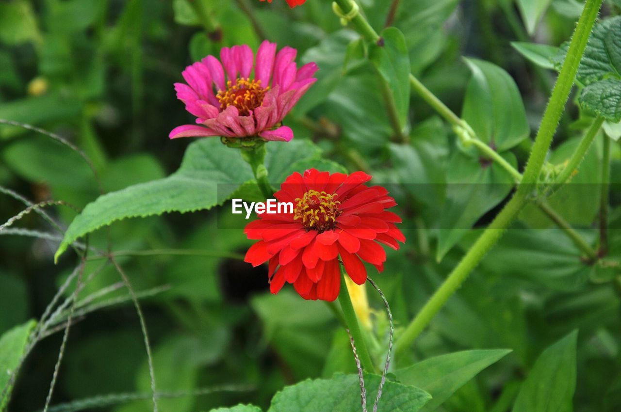 flower, growth, beauty in nature, nature, green color, freshness, petal, fragility, flower head, plant, blooming, leaf, no people, zinnia, focus on foreground, day, red, outdoors, close-up