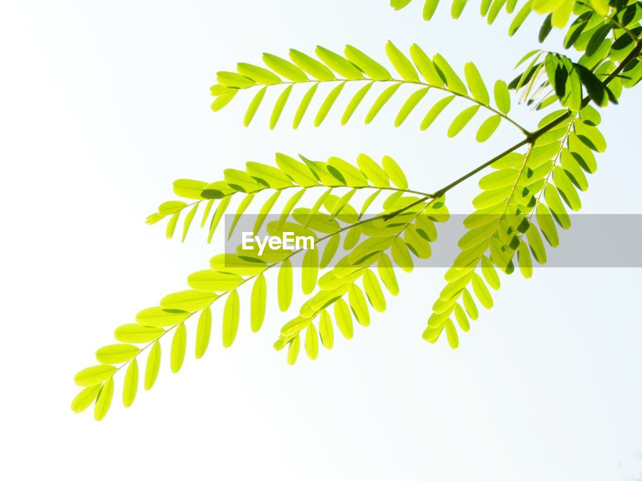 green color, leaf, plant part, growth, plant, white background, nature, close-up, no people, studio shot, fern, pattern, beauty in nature, indoors, day, freshness, clear sky, natural pattern, leaves