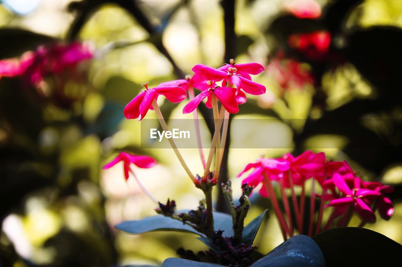 flower, flowering plant, plant, beauty in nature, freshness, petal, vulnerability, growth, fragility, close-up, pink color, flower head, inflorescence, nature, focus on foreground, no people, day, selective focus, outdoors, park