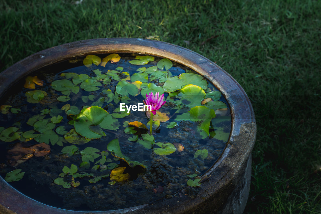 HIGH ANGLE VIEW OF LOTUS WATER LILY IN GARDEN