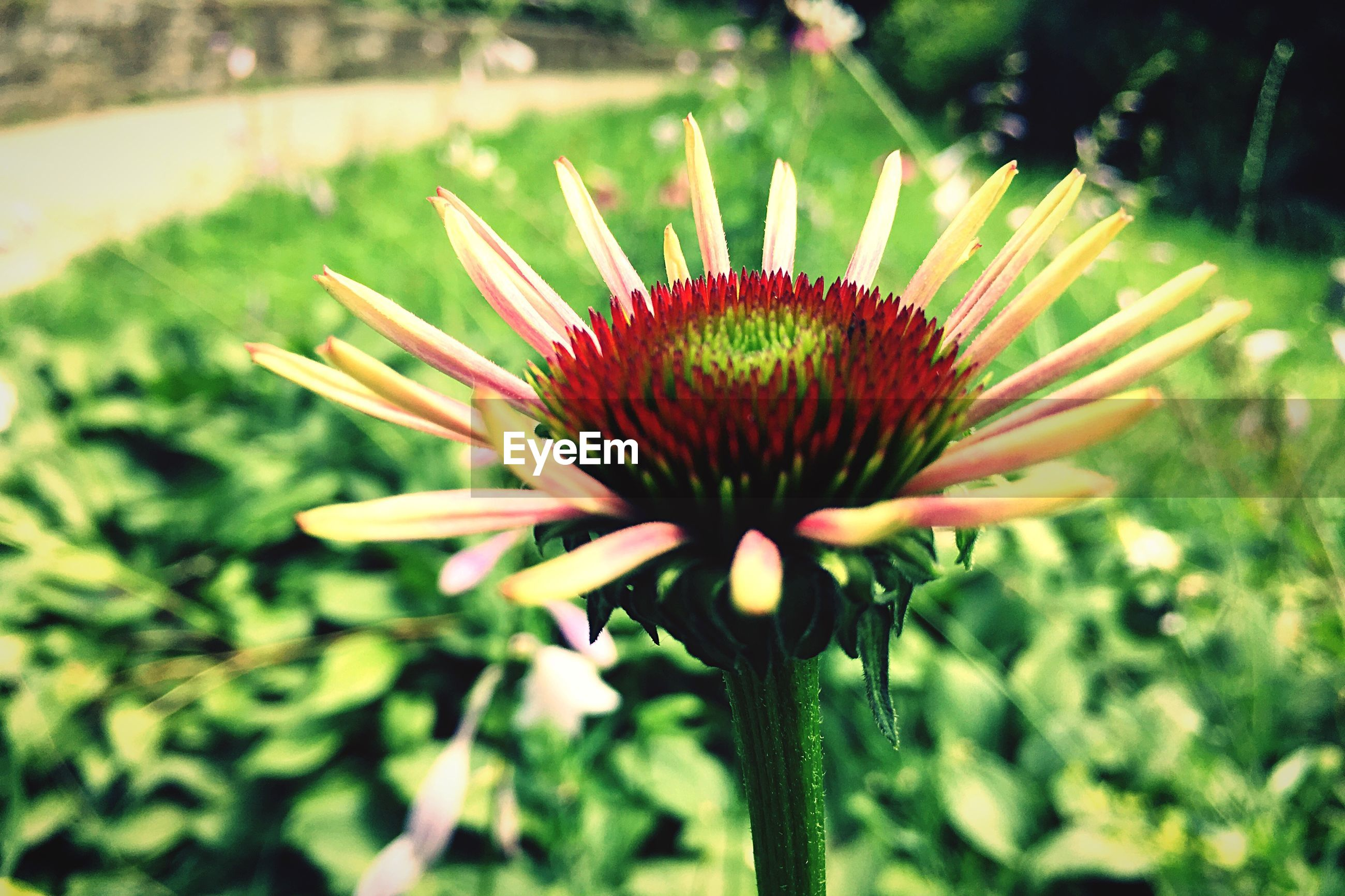 flower, petal, flower head, freshness, fragility, growth, focus on foreground, beauty in nature, single flower, close-up, blooming, plant, nature, pollen, in bloom, park - man made space, day, outdoors, pink color, no people