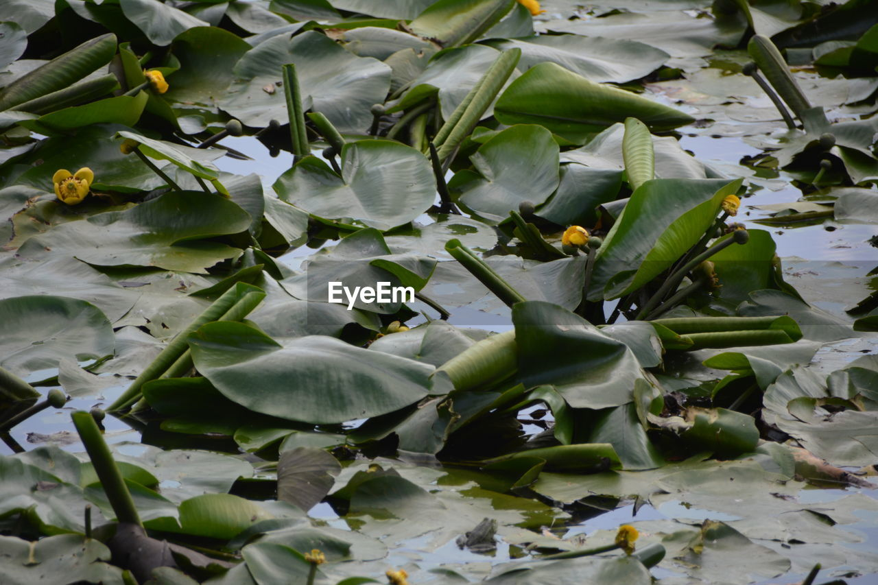 leaf, plant part, growth, plant, beauty in nature, water, nature, flower, no people, day, flowering plant, close-up, green color, lake, full frame, vulnerability, freshness, high angle view, water lily, outdoors, flower head, floating on water, leaves