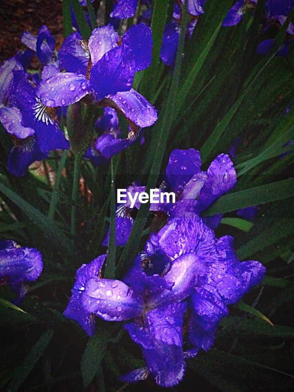 purple, drop, flower, growth, petal, nature, beauty in nature, water, fragility, wet, no people, plant, flower head, day, raindrop, outdoors, freshness, iris - plant, leaf, close-up, blooming