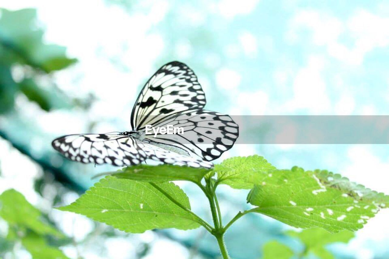 leaf, butterfly - insect, one animal, animal themes, insect, animals in the wild, animal wildlife, nature, butterfly, animal markings, no people, outdoors, green color, full length, plant, day, close-up, beauty in nature, fragility, perching, spread wings, freshness
