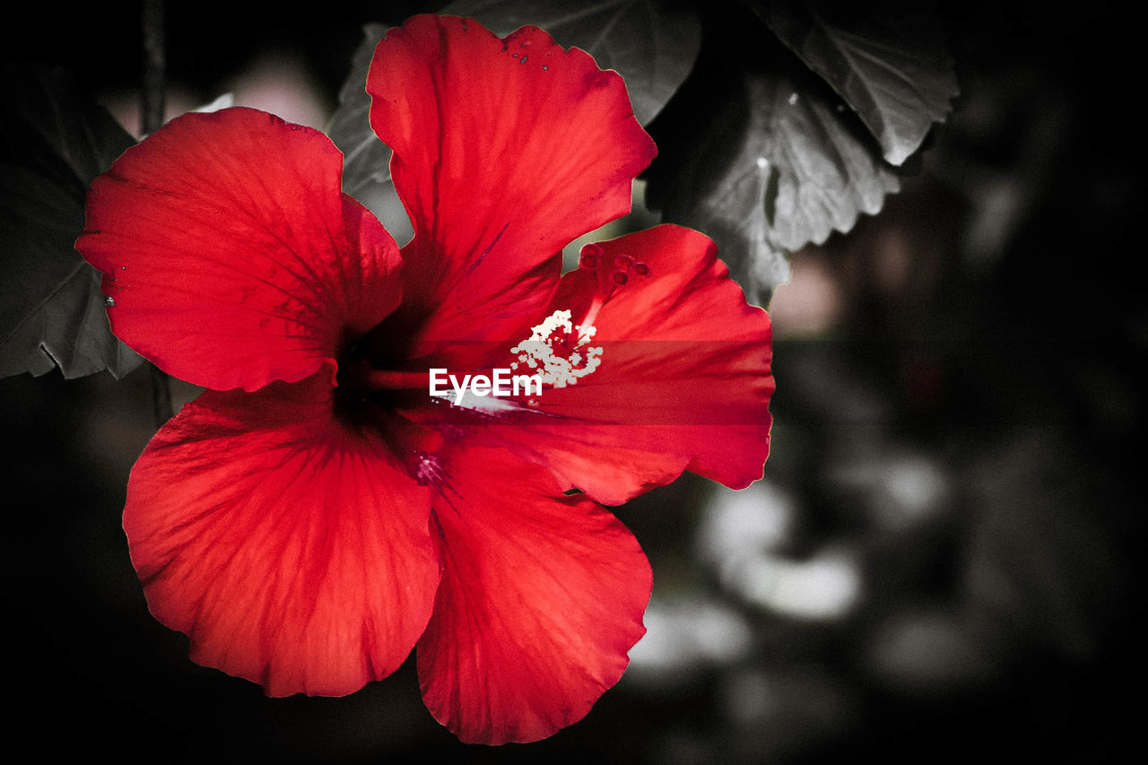 flower, red, petal, hibiscus, flower head, fragility, beauty in nature, growth, nature, pollen, plant, no people, stamen, close-up, freshness, day, blooming, outdoors