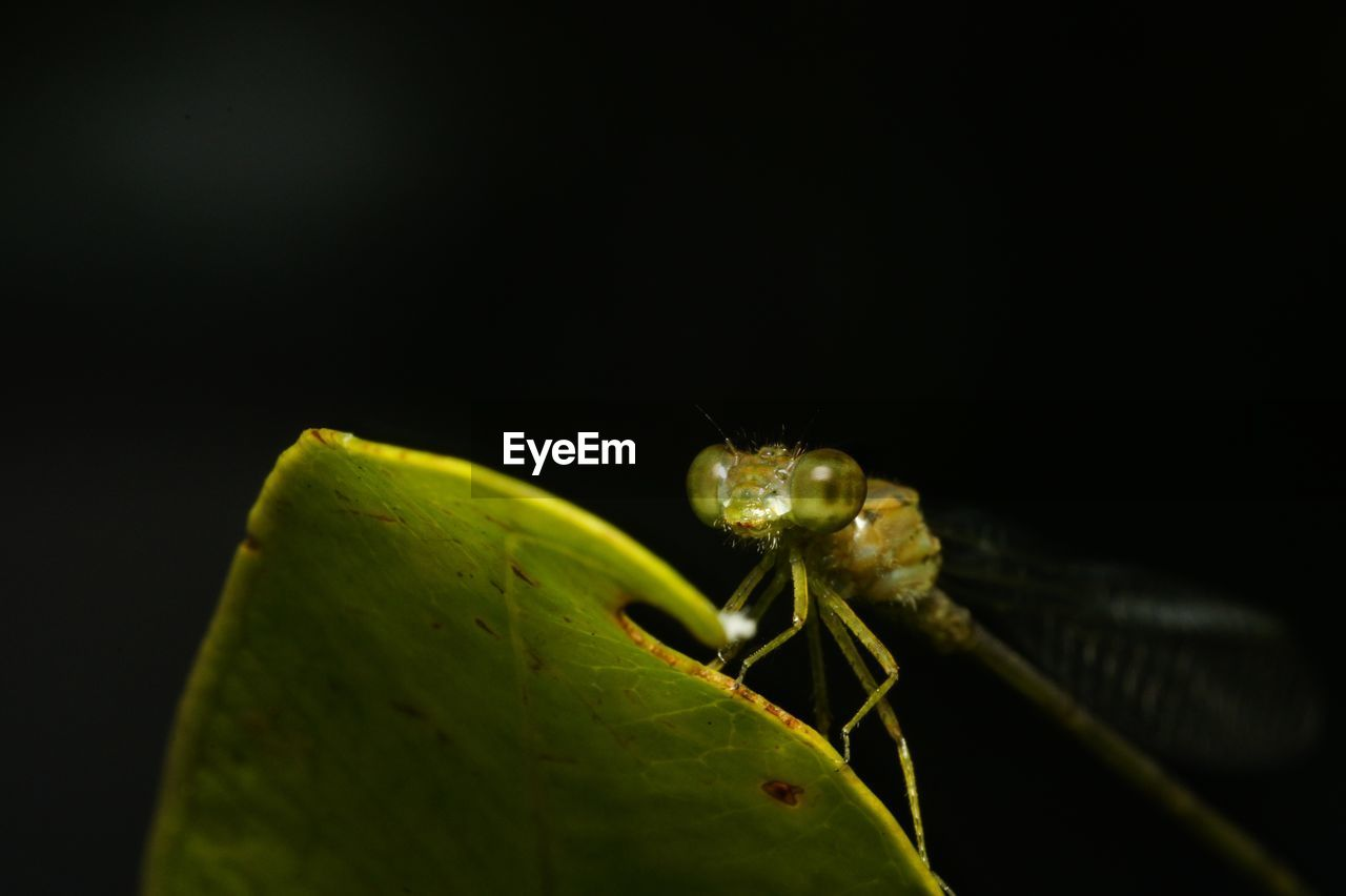 insect, animals in the wild, one animal, animal themes, green color, leaf, close-up, animal wildlife, no people, nature, outdoors, night, black background