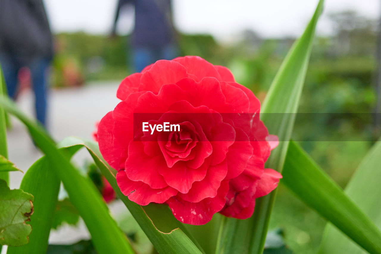 flowering plant, flower, beauty in nature, petal, vulnerability, plant, fragility, close-up, flower head, growth, freshness, inflorescence, focus on foreground, red, nature, rose, plant part, day, leaf, rose - flower, no people