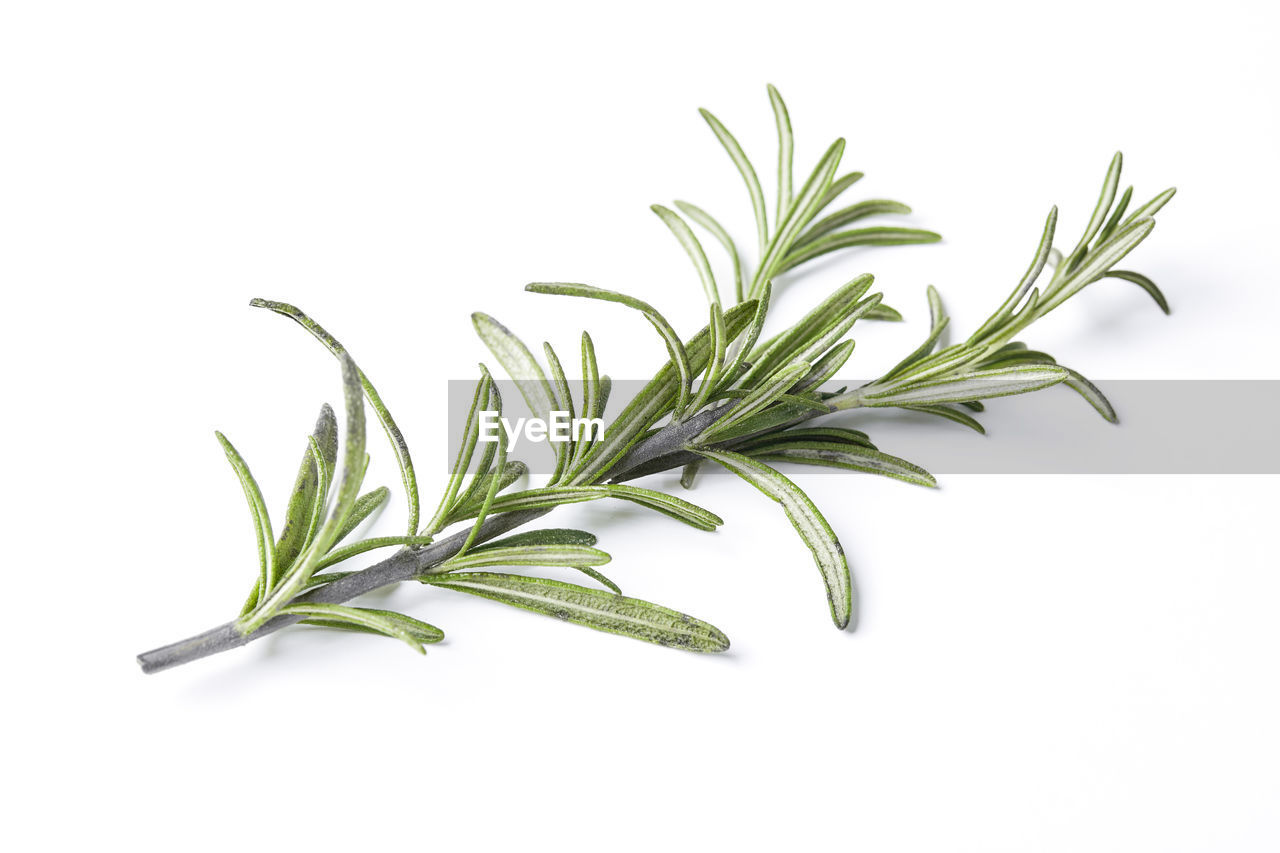 Close-up of rosemary leaves over white background