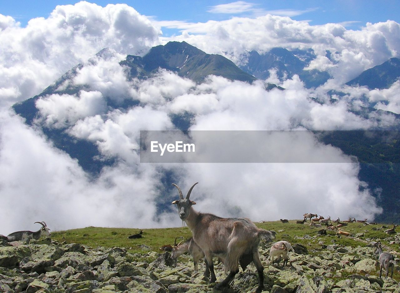 Goat on the top of the mountain