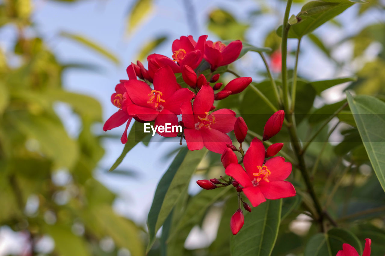 flowering plant, plant, flower, beauty in nature, vulnerability, fragility, growth, freshness, petal, red, flower head, close-up, inflorescence, nature, focus on foreground, day, no people, plant part, green color, leaf, outdoors