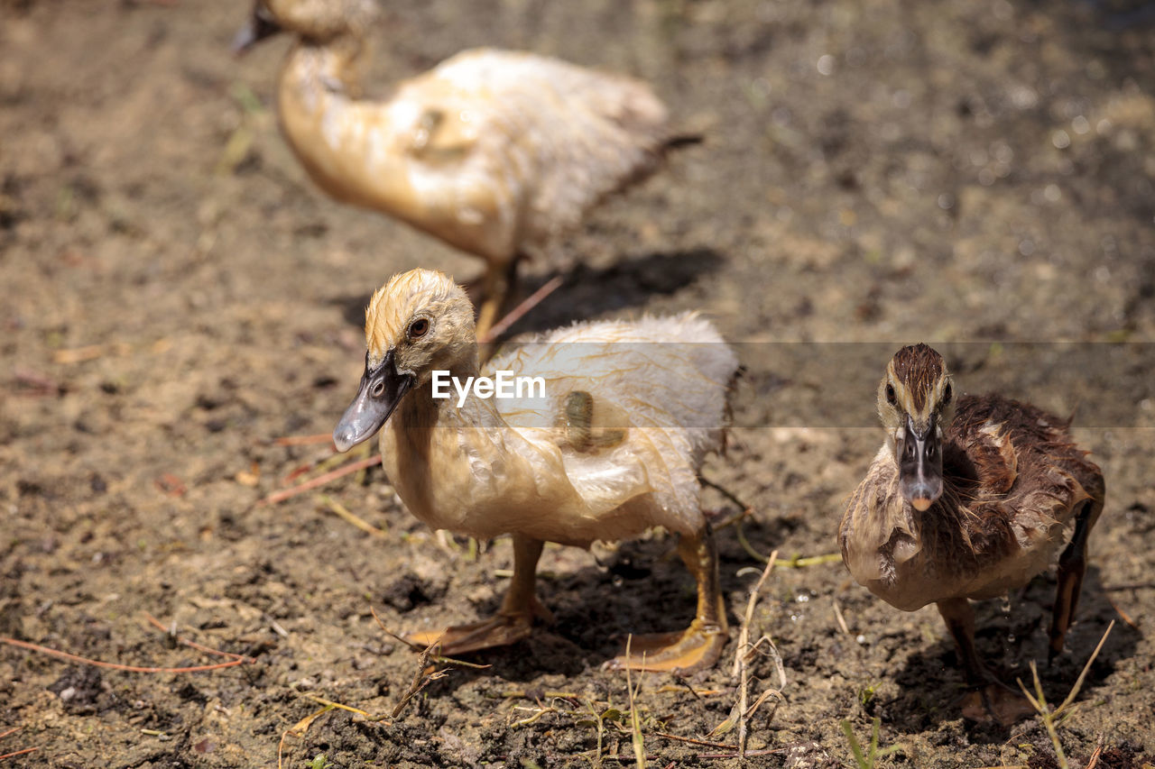 bird, animal themes, animal, vertebrate, young bird, group of animals, young animal, animals in the wild, animal wildlife, poultry, nature, duck, duckling, no people, day, land, field, animal family, beak, focus on foreground, gosling, cygnet
